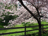 [Flowering Cherry Boughs]