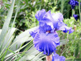 [Blue bearded iris with yucca leaves]