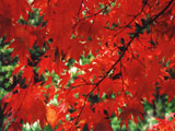 [Autumn Color of Japanese Maple]