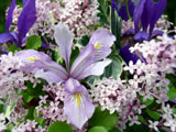[Iris and Korean Lilacs]