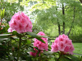 [Rhododendron 'Hurricane']