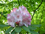 [Rhododendron 'Pt. Defiance' later]