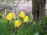 [Early Spring Tulips]