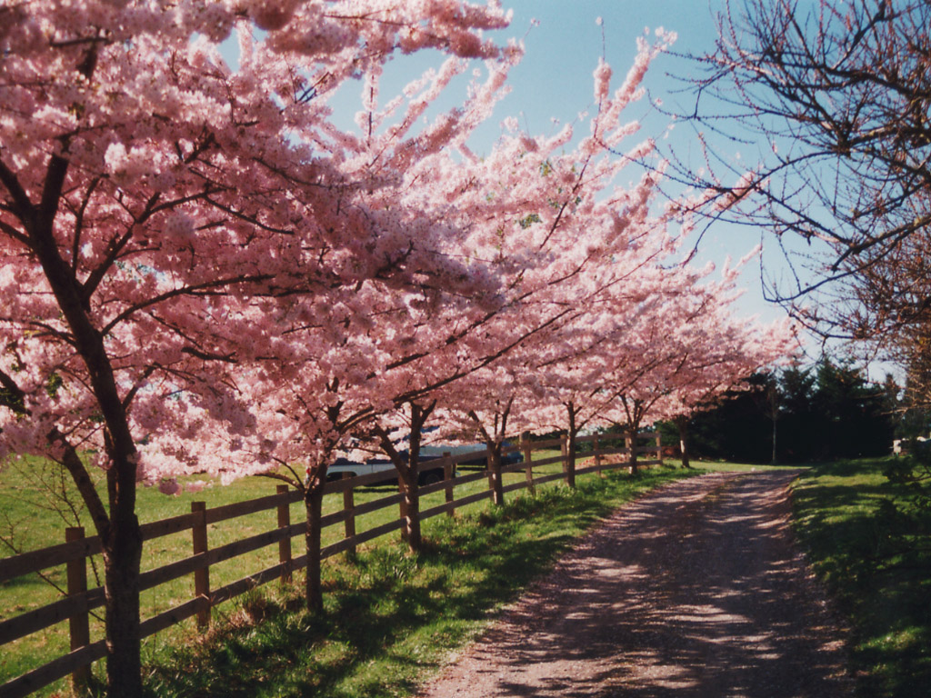 Keywords Flowering Cherry and Tags
